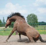 Doctor Whoof Paniertes Pferd